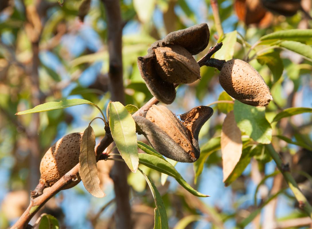 black almond tree removal - HD1088×800