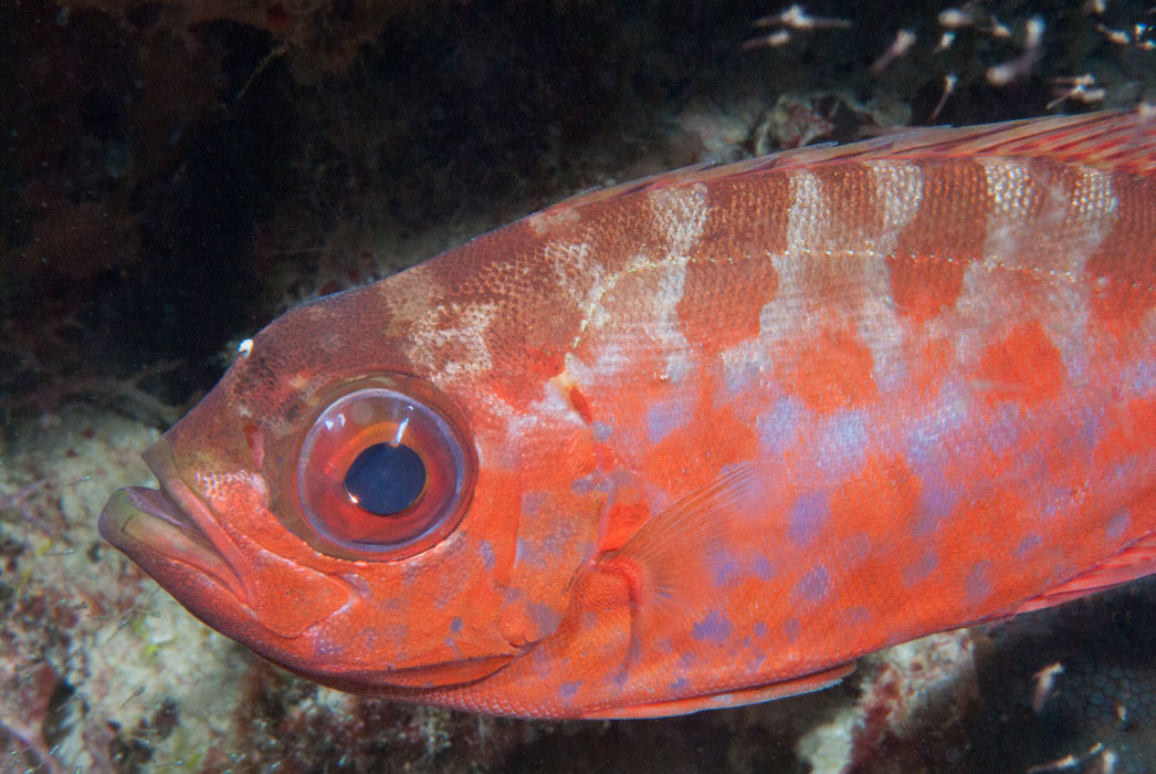 redlip parrotfish